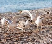Gaviotas en la playa — Foto de Stock