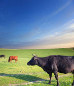 Herd of cows on green summer field — Stock Photo