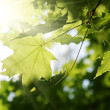 Green leaves and sun beams — Stock Photo #44818569