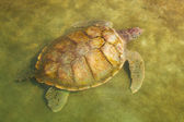 Carribean Sea Turtle Swimming — Stock Photo