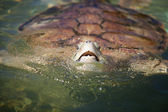 Carribean Sea Turtle — Stock Photo