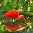 Hungry Scarlet Ibis — Stock Photo