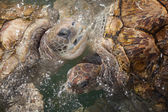 Carribean Sea Turtles — Stock Photo