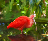 Scarlet Ibis Wading — Stock Photo