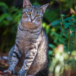 Foto Stock: Six Toed Cat at Hemingway Home in Key West