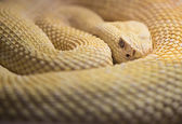 Albino Western Diamond Back Rattlesnake — Stock Photo