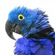 Hyacinth Macaw — Stock Photo #39444927