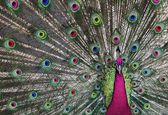 Psychedelic Peacock — Stock Photo
