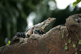 Iguana on a wall — Stockfoto