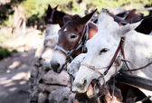 Noisy mules — Stock Photo
