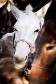 Pack Mule — Stock Photo