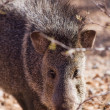 Stock Photo: Javelina