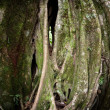 Stock Photo: Strangler Fig Tree