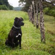 Stock Photo: Watchful dog