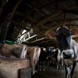 Stock Photo: Cow on dairy farm