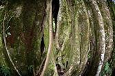 Strangler Fig Tree — Stock Photo