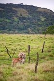 Costa Rican cows — Stock Photo