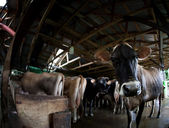 Cow on a dairy farm — Stock Photo