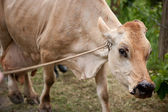 Costa Rican cow — Stock Photo