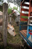 Costa Rican ranch hand putting cow onto truck — Stock Photo
