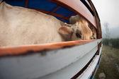 Cow on panel truck — Zdjęcie stockowe