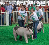 Teens with pigs at Iowa State Fair — Stock Photo