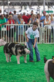 Teen with pigs at Iowa State Fair — Stock Photo