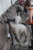 Girl washing sheep — Stock Photo