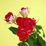 Постер, плакат: Beautiful vinous roses on green background close up