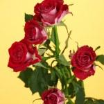 Постер, плакат: Beautiful vinous roses on yellow background close up