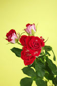 Beautiful vinous roses on green background close-up — Stock Photo
