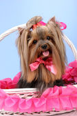 Beautiful yorkshire terrier in basket on colorful background — Stock Photo