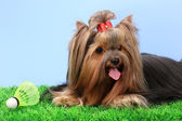 Beautiful yorkshire terrier with lightweight object used in badminton on gr — Zdjęcie stockowe