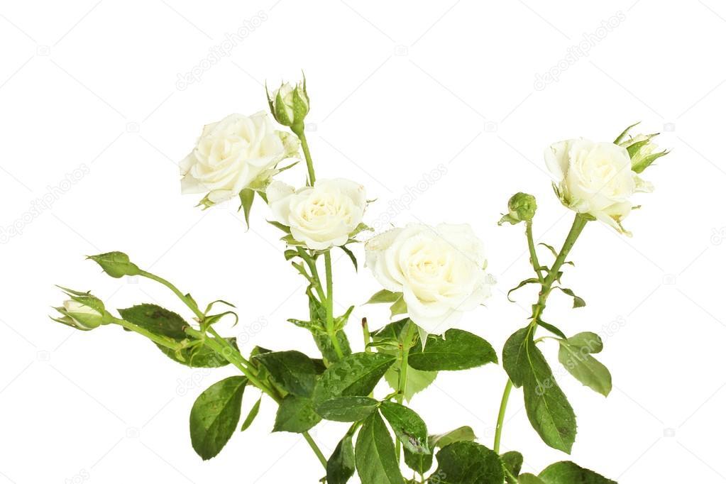Белые розы цены москва