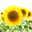Sunflower field — Stock Photo #12575522