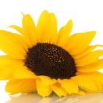 mooie zonnebloem, geïsoleerd op wit — Stockfoto