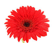 Beautiful red gerbera on white background — Stock Photo
