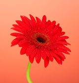 Beautiful red gerbera on red background close-up — Stock Photo