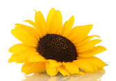 Beautiful sunflower, isolated on white — Stock Photo