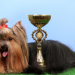 Beautiful yorkshire terrier with prize on grass on colorful background - Stock Photo