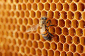 Yellow beautiful honeycomb with honey and bee, background — 图库照片