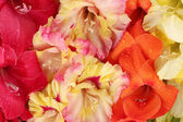 Beautiful colorful gladioli close-up — Stock Photo