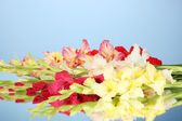 Beautiful colorful gladiolus on blue background Close-up — Stock Photo