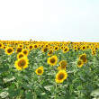 Sunflower field — Stock Photo #12711693