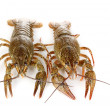 Alive crayfishes isolated on white close-up — Foto de Stock