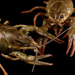 Stock Photo: Alive crayfishes on black background close-up