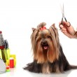 Grooming the yorkshire terrier isolated on white — Stock Photo #12714434