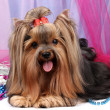 Beautiful yorkshire terrier on background fabric — Stock Photo