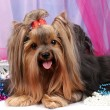 Beautiful yorkshire terrier on background fabric - Stock Photo