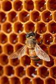 Yellow beautiful honeycomb with honey and bee, background — Stockfoto